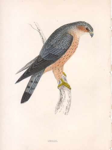 Falco columbarius, 1870