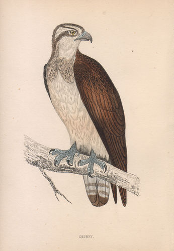 Falcone, Pandion haliaetus, 1870