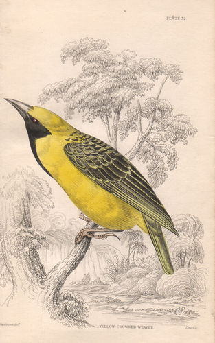 Yellow-Crowned Weaver, 1836