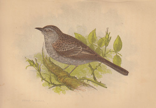 Uccello canoro (Hedge Warbler), 1853