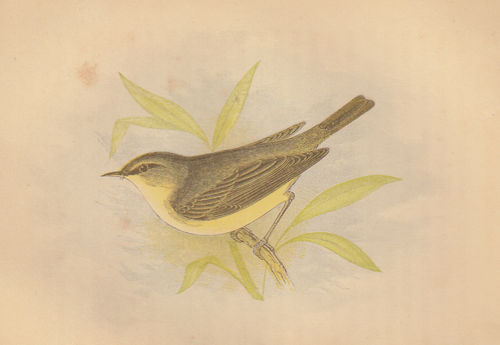 Scricciolo (Willow Wren), 1853