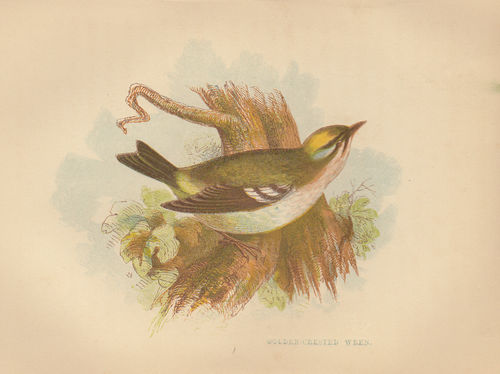 Scricciolo (Golden-crested Wren), 1853