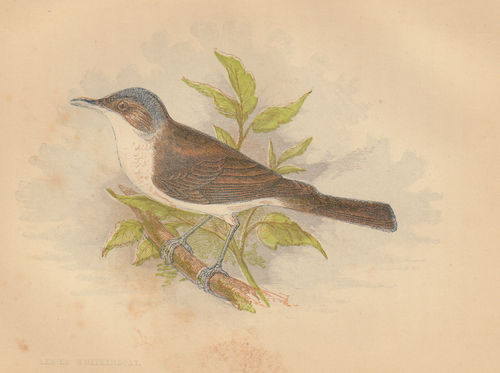 Bigiarella (Lesser Whitethroat), 1853