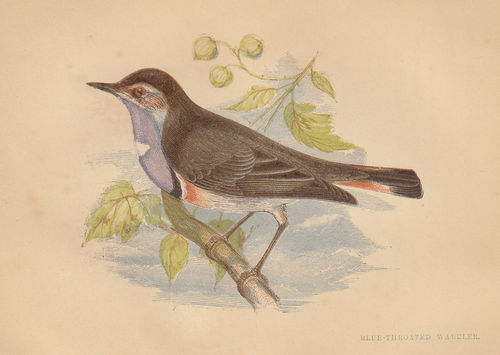 Passero (Blue-Throated Warbler), 1853