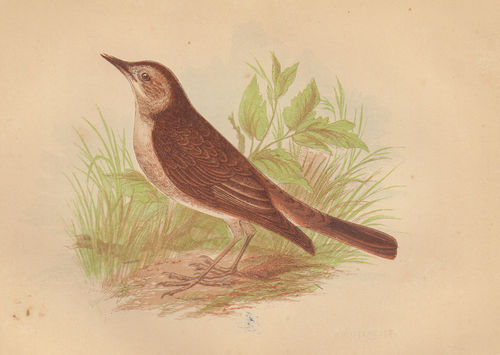 Usignolo (Nightingale), 1853