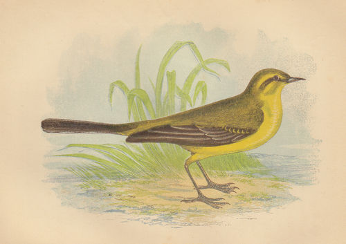 Cutrettola (Yellow Wagtail), 1853